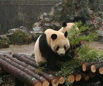 """中国旅加大熊猫提前回国旅程仍未成行,鲜竹面临""""断炊"""""""