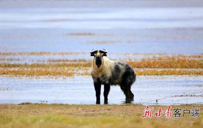 甘肃尕海则岔国家级自然保护区内首次监测到羚牛