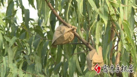 【今晚讲述】朱关玲:秋天也有桃子吃 让雪桃甜蜜宿迁人的味蕾